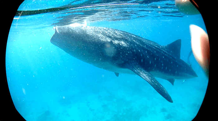 oslob鯨鯊-一日遊